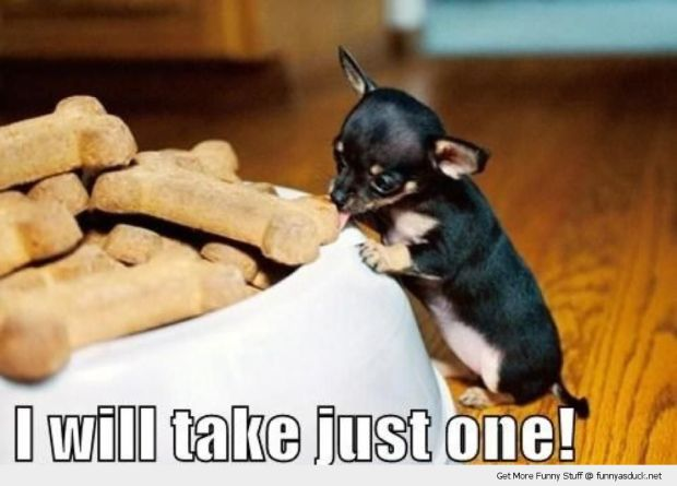 funny-cute-tiny-small-dog-eating-biscuits-treats-just-one-pics